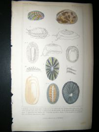Cuvier C1835 Antique Hand Col Print. Shells #31